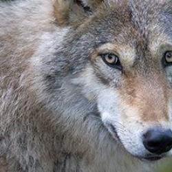 Stimmen der Basis – Warum keine Wolfsgebiete?
