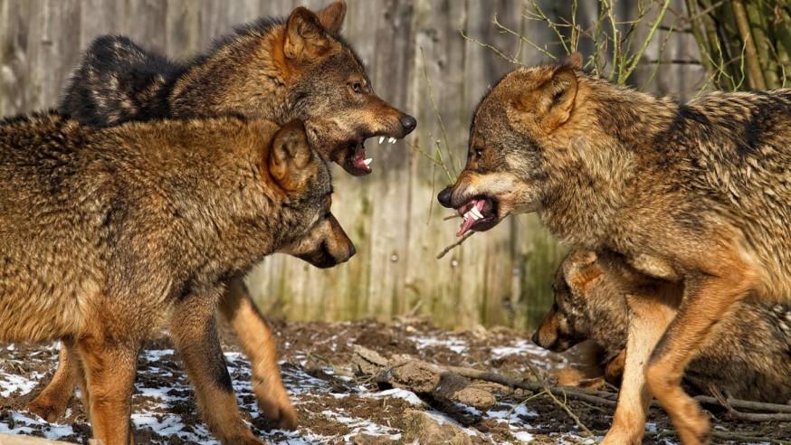 Willkommen Wolf ? Eine kritische Betrachtung